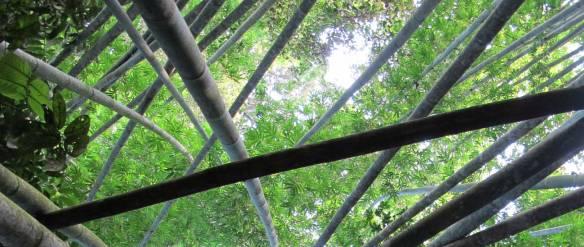 Giant-Bamboo